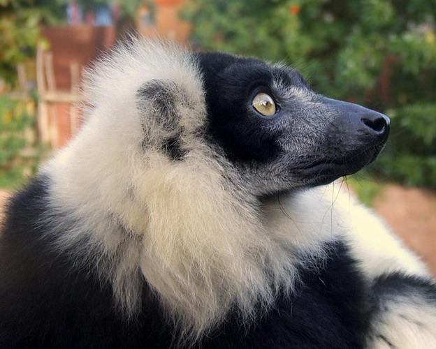 lemurblackandwhite